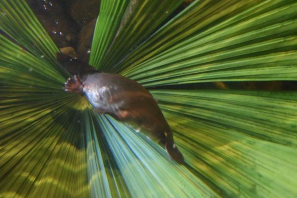Platypus eli vesinokkaeläin