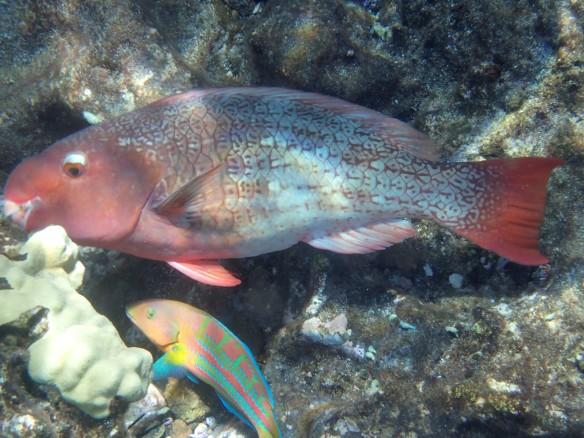 Punainen kala ja sen kamu
