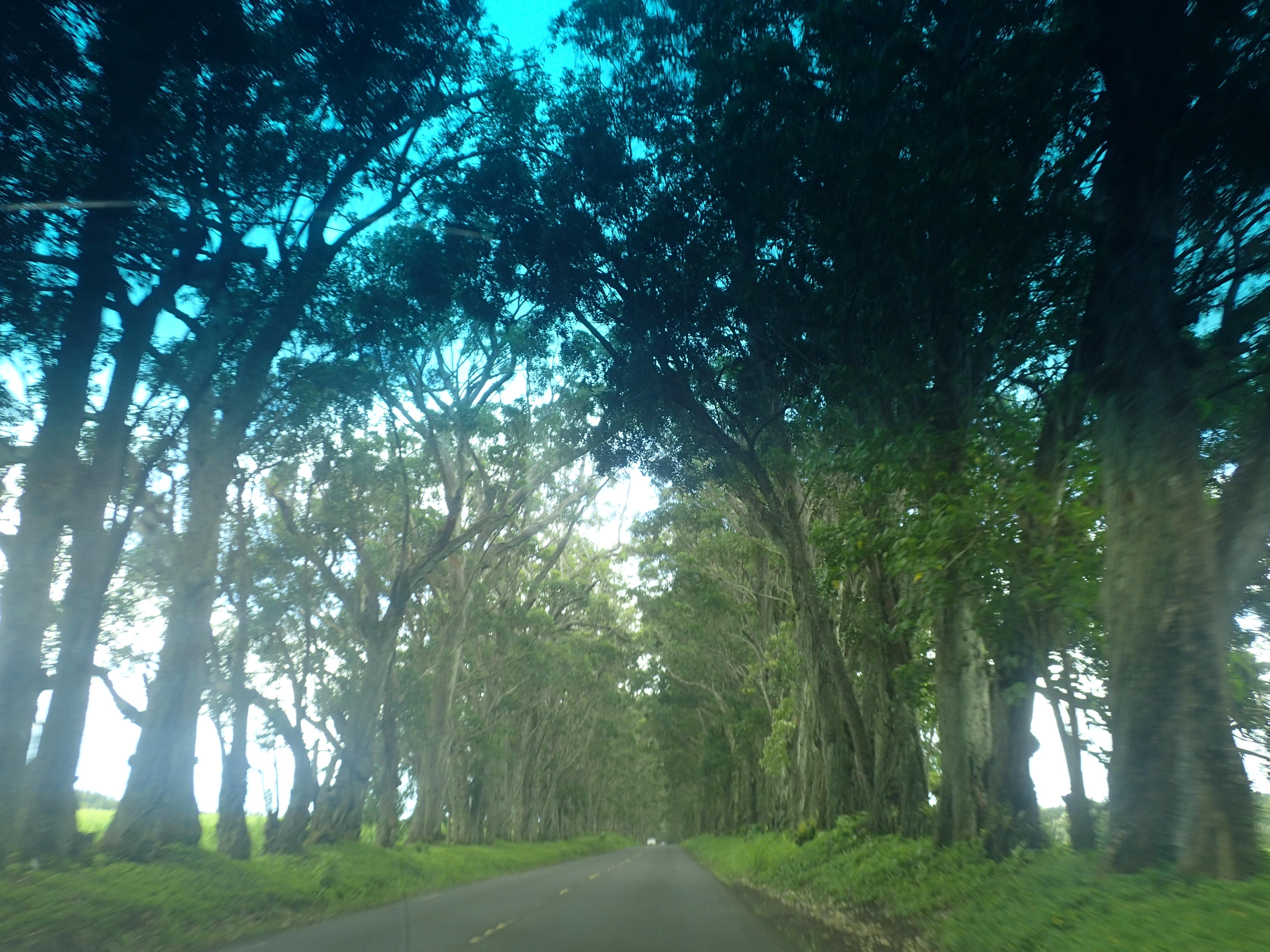 Tree Tunnel Koloaan ajettaessa