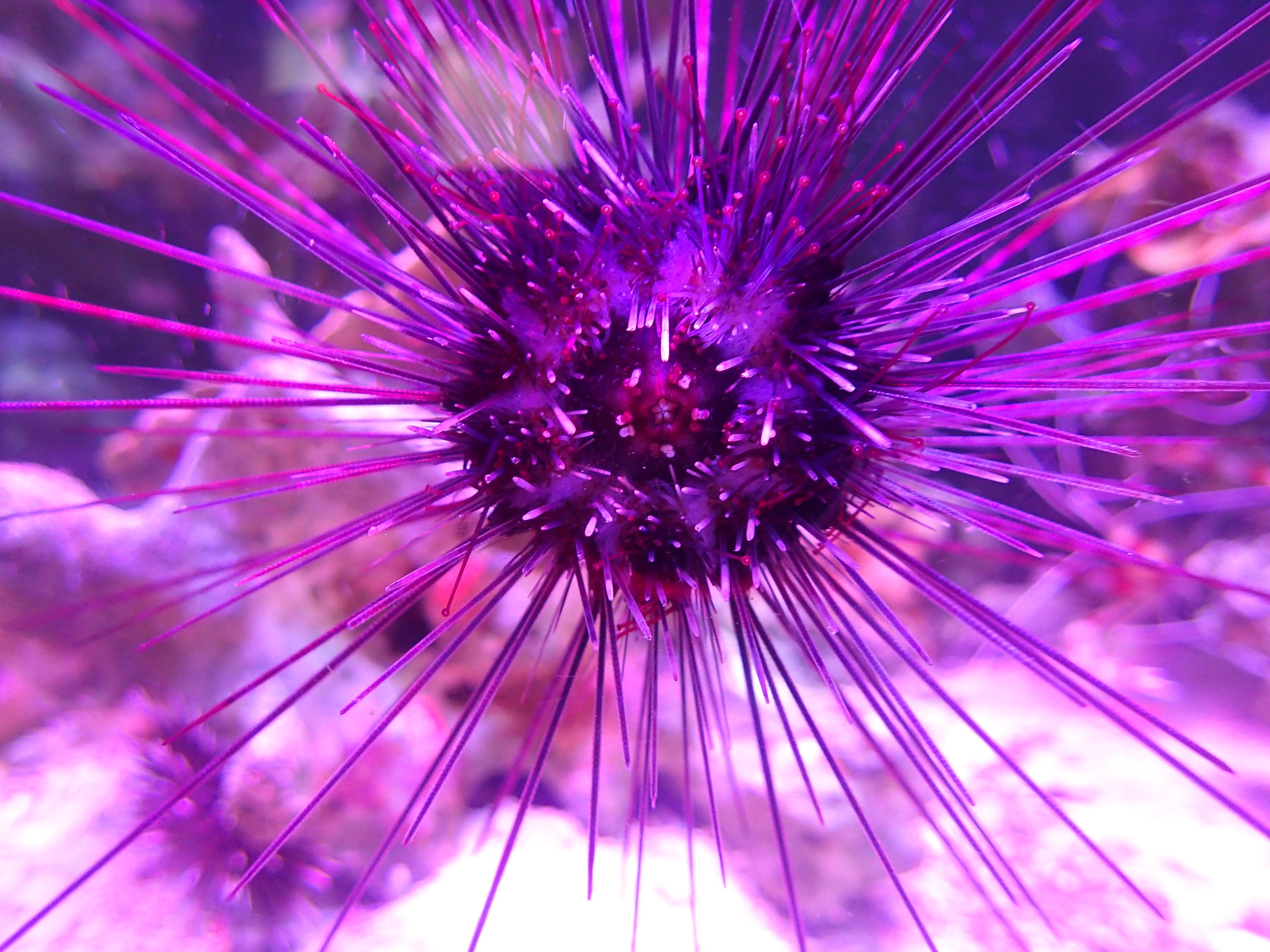 Akvaarion merisiili