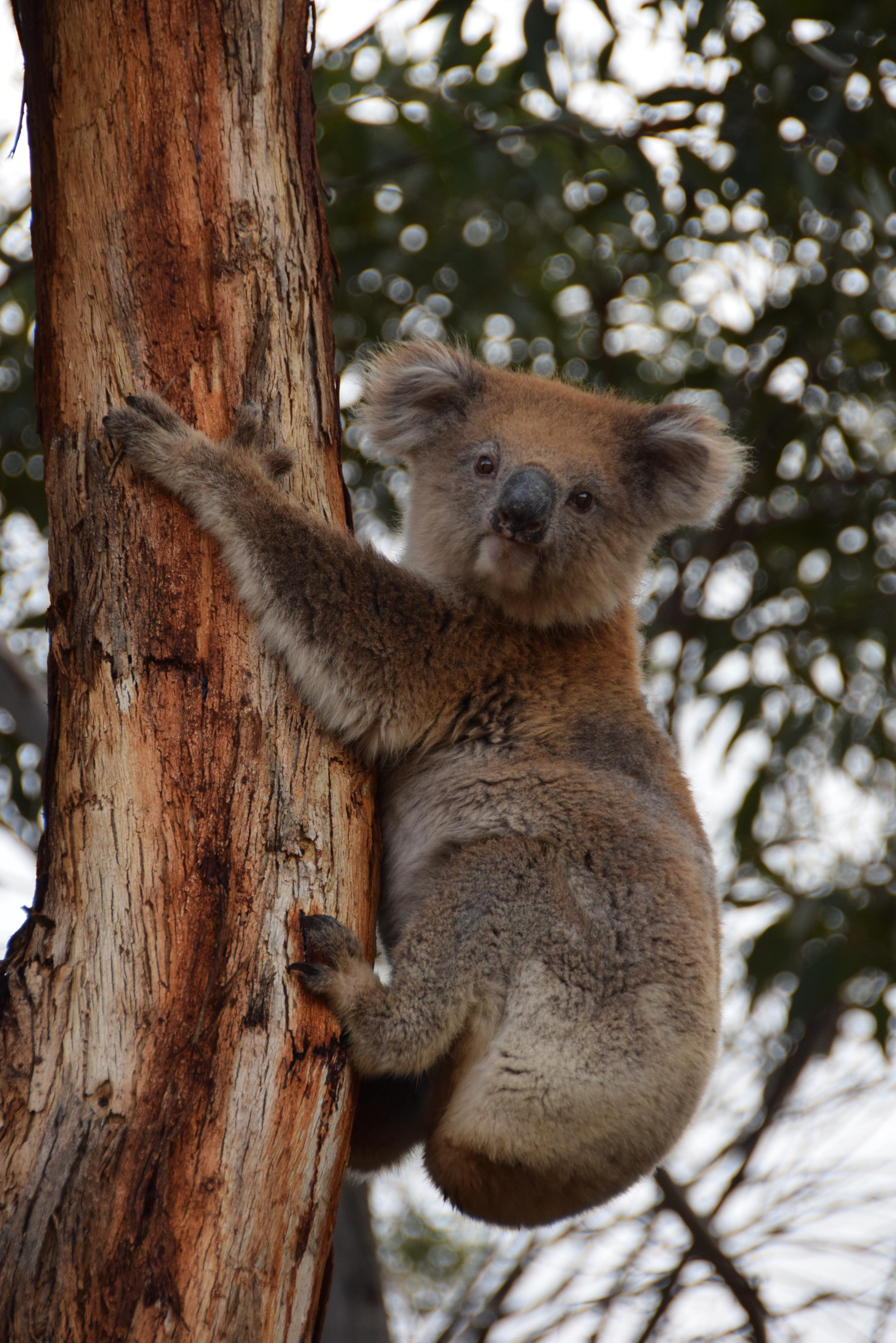 Vapaana elävä koala Kengurusaarella (2015).